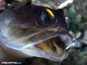 Portrait of a Gold-spec Jawfish. Taken with D200 and 105m... by David Henshaw 